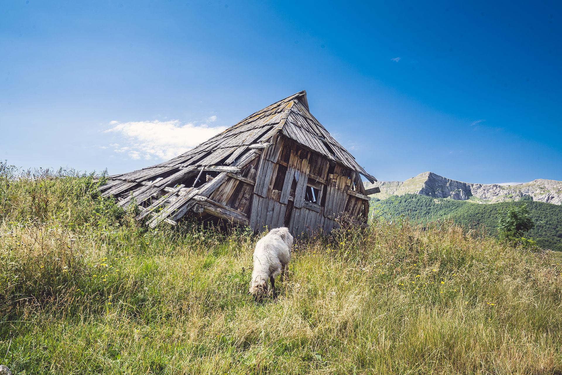 Sheep grazing in front of a katun in Umoljani