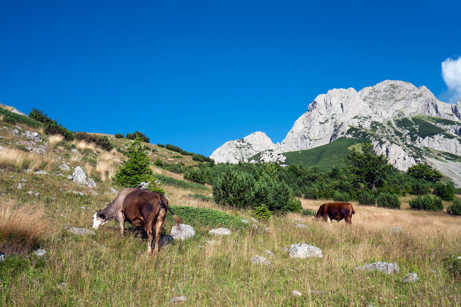 Cows grazing in Sutjeska NP