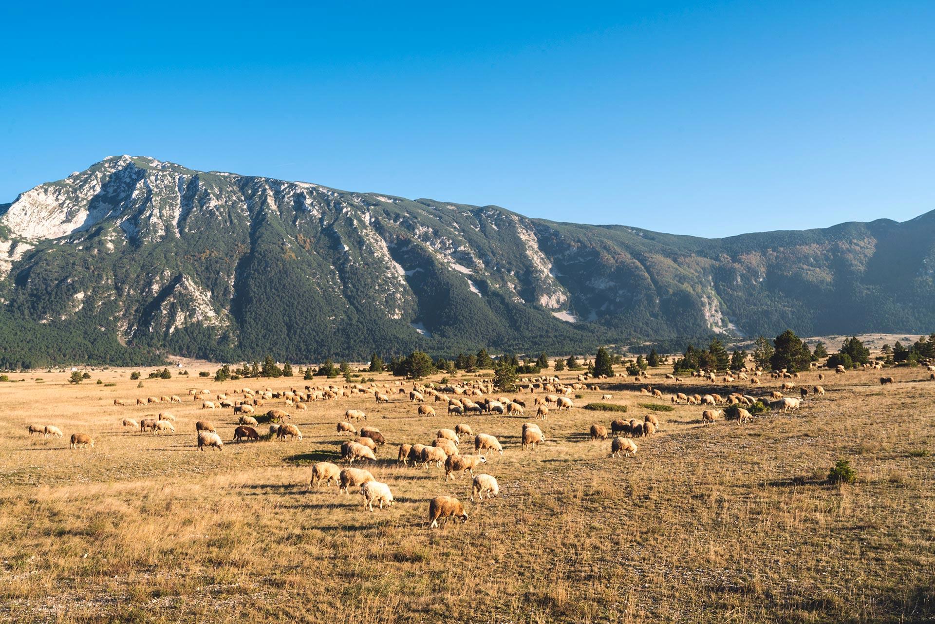 Sheep grazing in Dugo polje, Blidinje NP